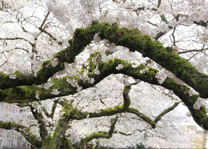 Moss Greeting Card featuring the photograph Cherry Blossoms 104 by Peter Simmons