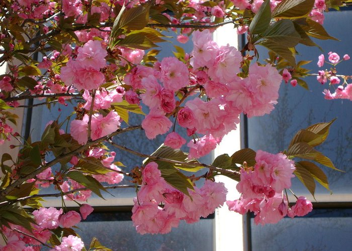 Cherry Blossoms Greeting Card featuring the photograph Cherry Blossoms by Cynthia Butler