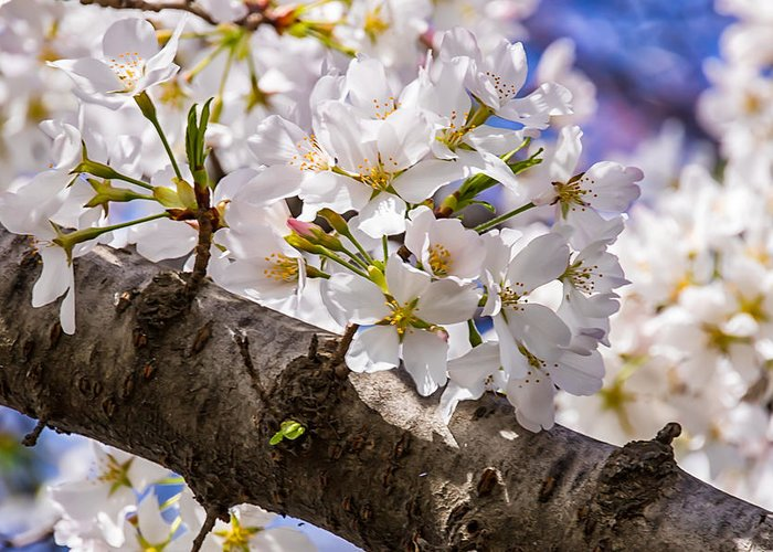 Cherry Blossoms Greeting Card featuring the photograph Cherry Tree by Carol Ward