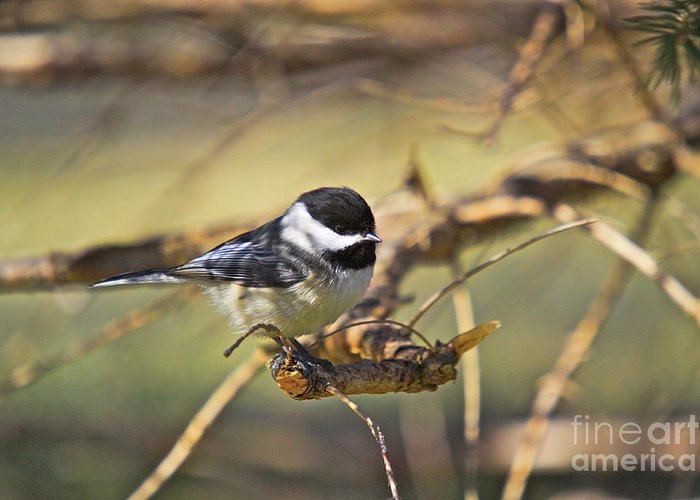Additional Tags: Greeting Card featuring the photograph Chickadee-11 by Robert Pearson