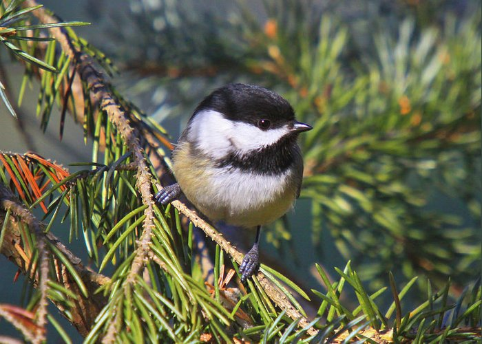 Additional Tags: Greeting Card featuring the photograph Chickadee-12 by Robert Pearson