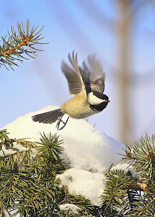 Additional Tags: Greeting Card featuring the photograph Chickadee-13 by Robert Pearson