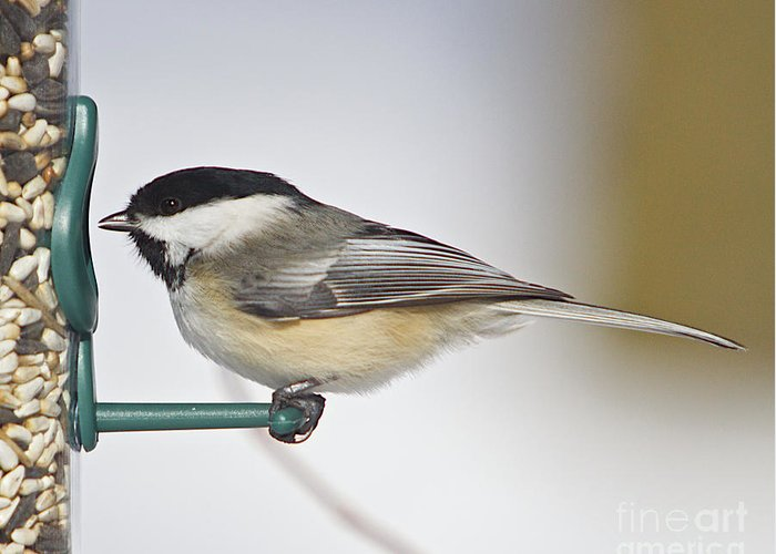 Additional Tags: Greeting Card featuring the photograph Chickadee-4 by Robert Pearson
