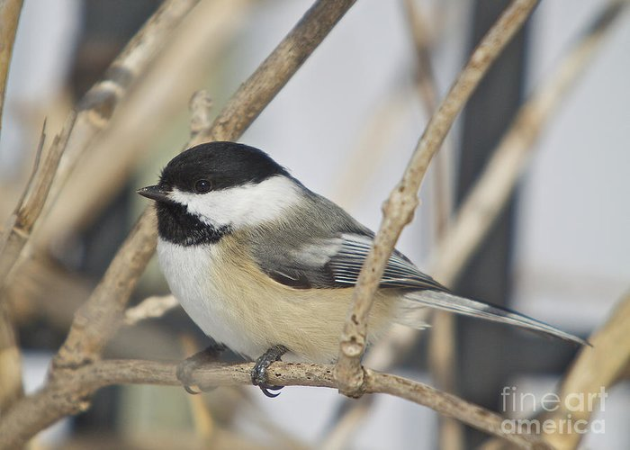 Birdadditional Tags: Greeting Card featuring the photograph Chickadee-5 by Robert Pearson