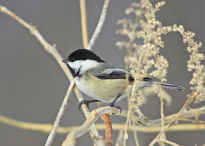 Additional Tags: Greeting Card featuring the photograph Chickadee-8 by Robert Pearson