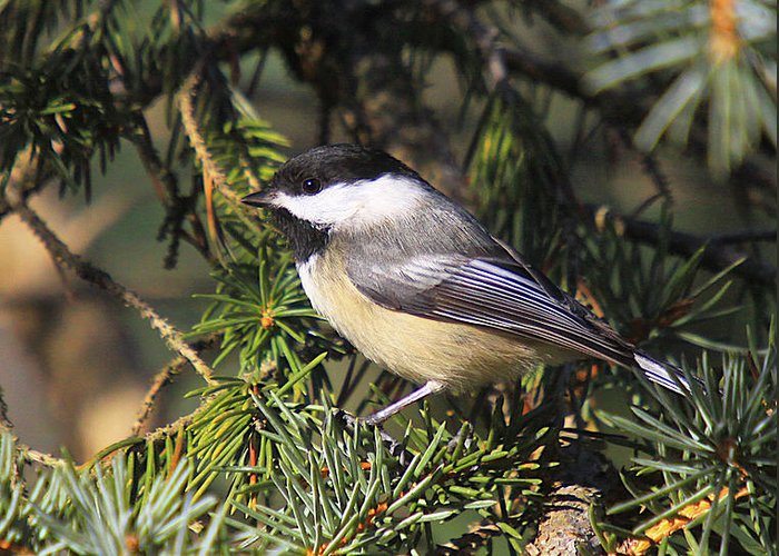 Additional Tags: Greeting Card featuring the photograph Chickadee-9 by Robert Pearson