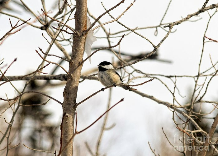 Black-capped Chickadee Greeting Card featuring the photograph Chickadee by William Tasker