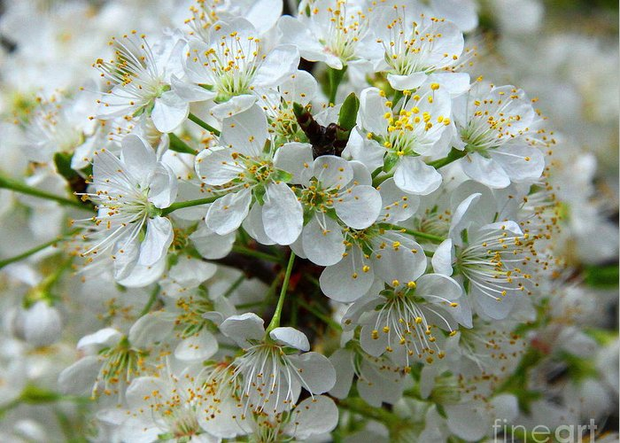 Chickasaw Plum Greeting Card featuring the photograph Chickasaw Plum Blooms by Barbara Bowen