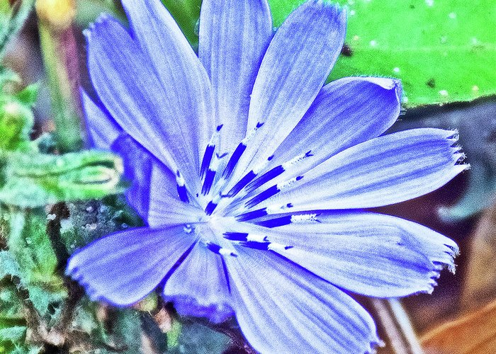 Chicory On Trail To North Beach Park In Ottawa County Greeting Card featuring the photograph Chicory On Trail To North Beach Park In Ottawa County, Michigan by Ruth Hager