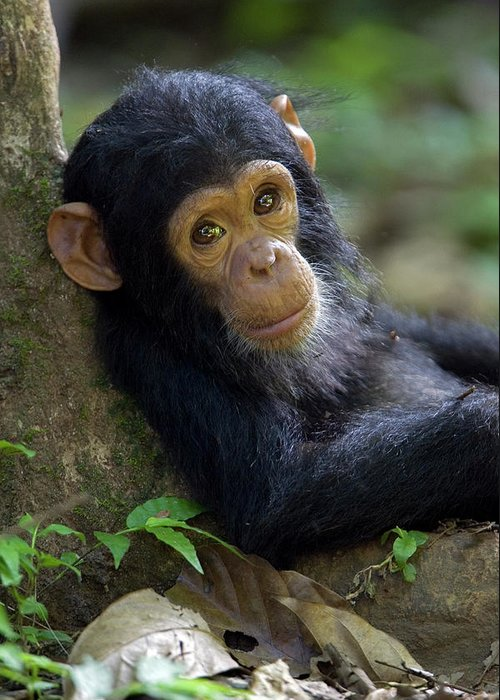 Mp Greeting Card featuring the photograph Chimpanzee Pan Troglodytes Baby Leaning by Ingo Arndt