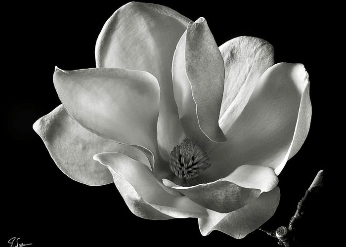 Flower Greeting Card featuring the photograph Chinese Magnolia by Endre Balogh