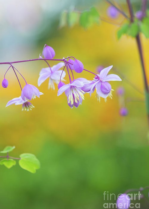 Chinese Meadow Rue Greeting Card featuring the photograph Chinese Meadow Rue by Tim Gainey