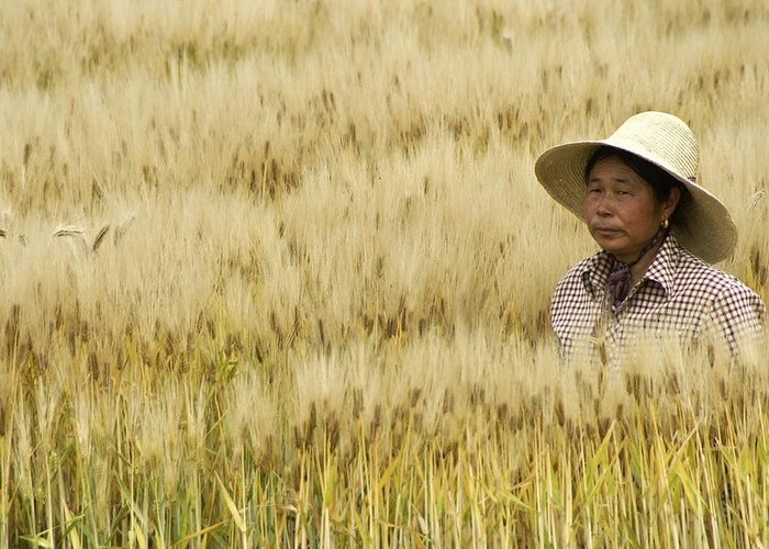 Asia Greeting Card featuring the photograph Chinese Rice Farmer by Michele Burgess