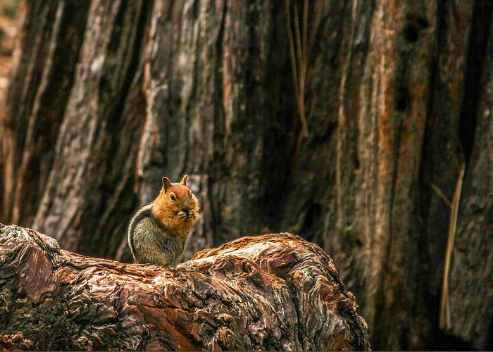 Chipmunk Greeting Card featuring the photograph Chipper by Bill Gallagher