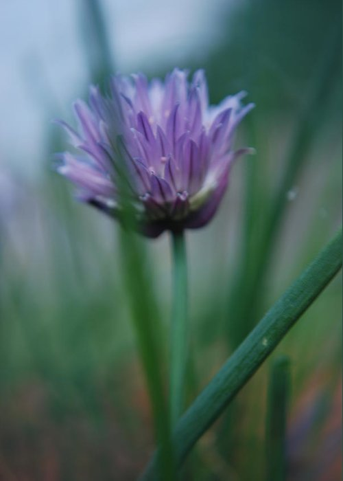 Nature Greeting Card featuring the photograph Chive Flower 2 by Lisa Gabrius
