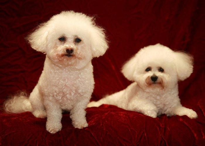 Animal Greeting Card featuring the photograph Chloe And Jolie The Bichon Frises by Michael Ledray