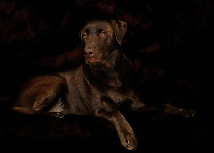 Labrador Dog Greeting Card featuring the photograph Chocolate Lab Dog by Christine Till