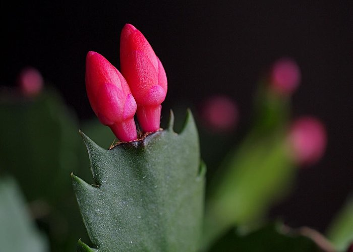 Christmas Cactus Greeting Card featuring the photograph Christmas Cactus Double Joy by Rona Black