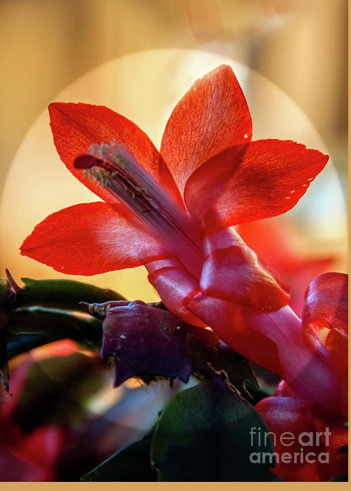 Christmas Cactus Greeting Card featuring the photograph Christmas Cactus Flower by Robert Bales