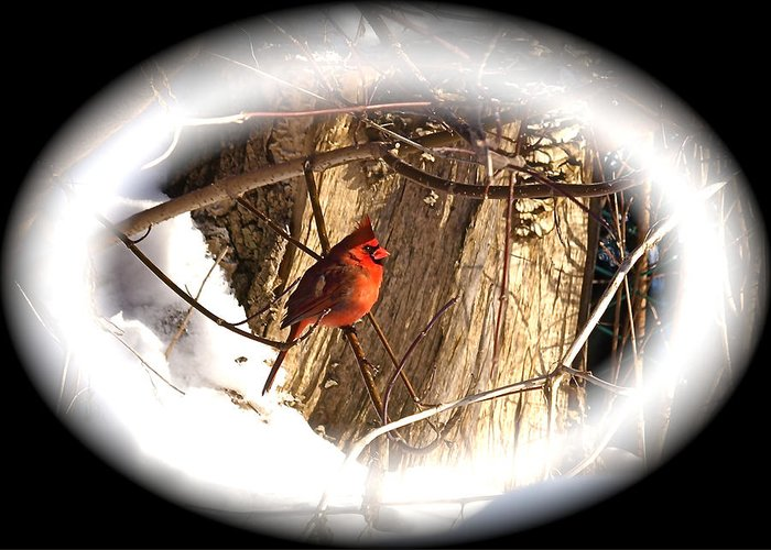 Greeting Card Greeting Card featuring the photograph Christmas Cardinal by Peter Gray
