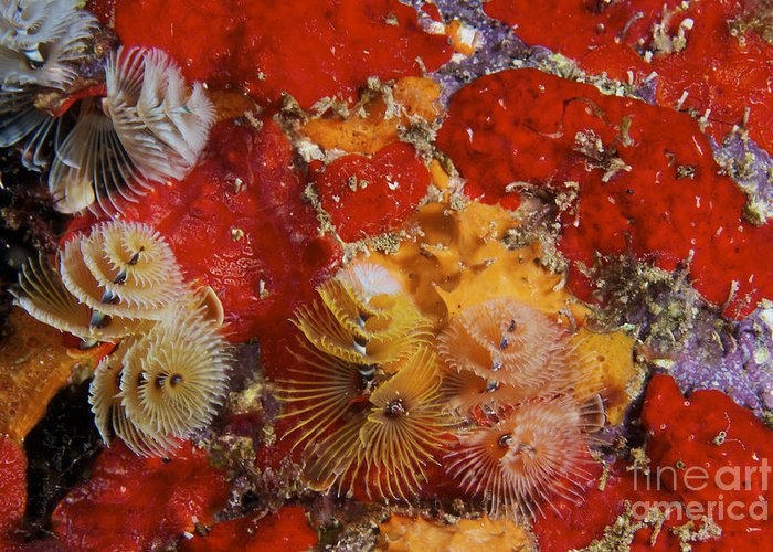 Christmas Tree Worms Greeting Card featuring the photograph Christmas Tree Worms, Bonaire by Terry Moore