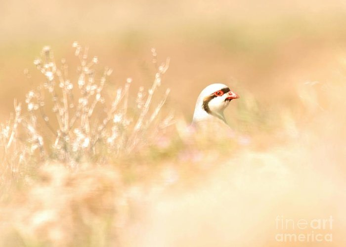 Chukar Greeting Card featuring the photograph Chukar Partridge by Dennis Hammer