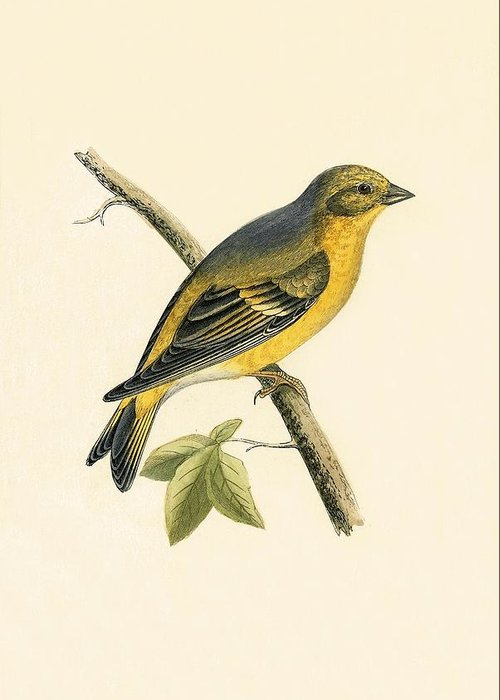 Yellow Finch Greeting Cards