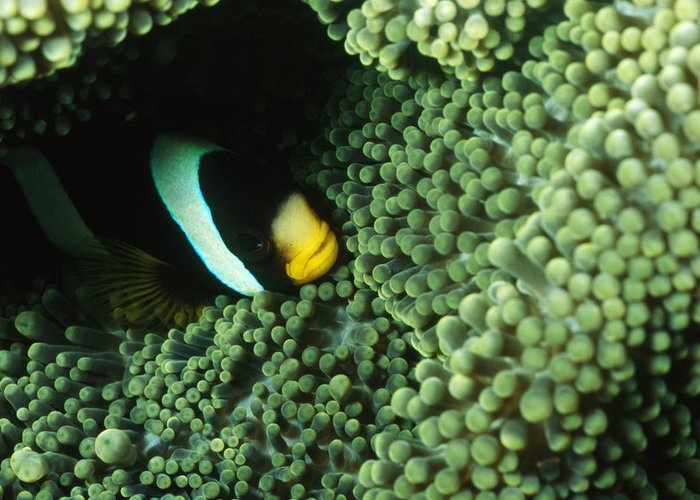 Solomon Islands Greeting Card featuring the photograph Clarks Anemonefish, Amphiprion Clarkii by James Forte