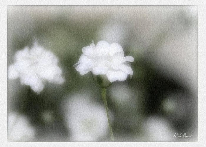 Flowers Greeting Card featuring the photograph Classic White by Linda Sannuti
