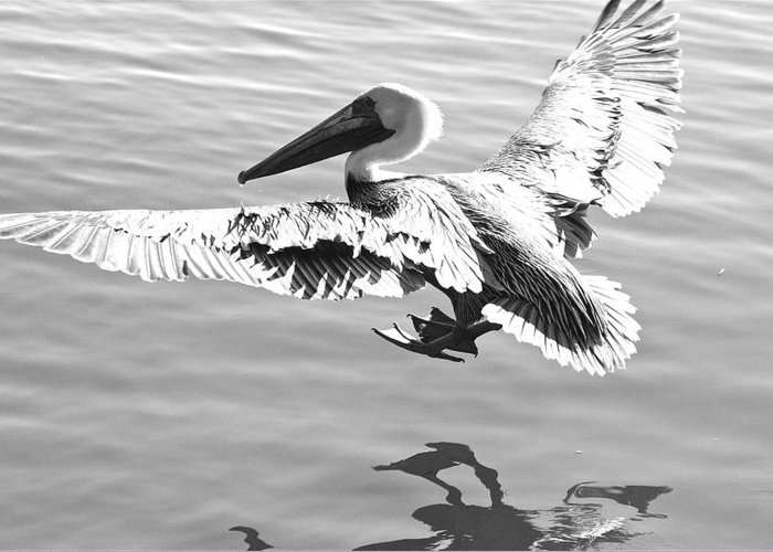 Pelican Greeting Card featuring the photograph Cleared For Landing by Bonnes Eyes Fine Art Photography
