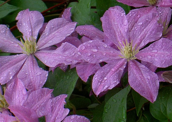 Purple Greeting Card featuring the photograph Clematis In The Rain by Carolyn Jacob