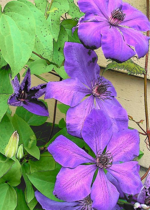Clematis Greeting Card featuring the photograph Clematis Trail by Vijay Sharon Govender