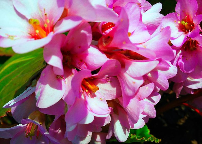 Bergenia Cordifolia Greeting Card featuring the photograph Close To Me by Jasna Dragun