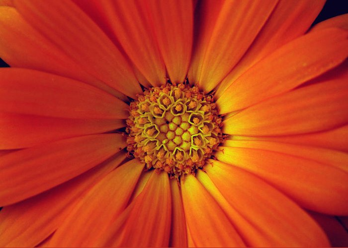 Plant Greeting Card featuring the photograph Close Up Of An Orange Daisy by Ralph A Ledergerber-Photography