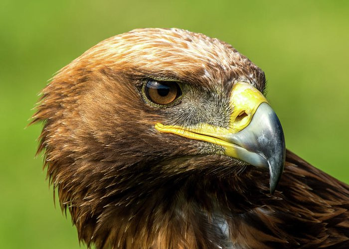 Aquila Chrysaetos Greeting Card featuring the photograph Close-up Of Golden Eagle With Turned Head by Ndp