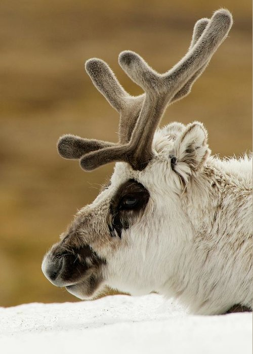 Arctic Greeting Card featuring the photograph Close-up Of Reindeer Head On Snowy Ridge by Ndp