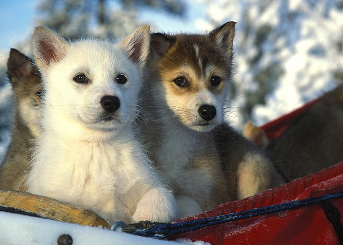 Outdoor Greeting Card featuring the photograph Close Up Of Siberian Husky Puppies by Nick Norman