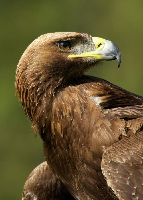 Aquila Chrysaetos Greeting Card featuring the photograph Close-up Of Sunlit Golden Eagle Looking Back by Ndp