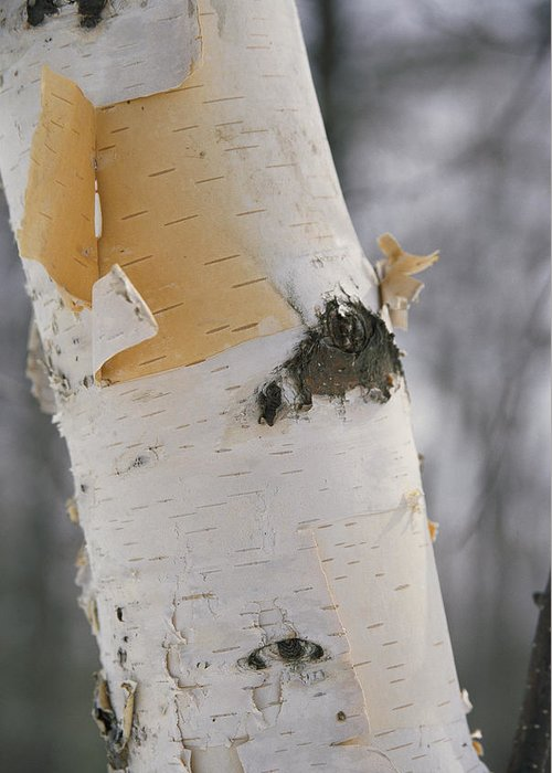 united States Greeting Card featuring the photograph Close-up Of The Bark Of A Birch Tree by Vlad Kharitonov
