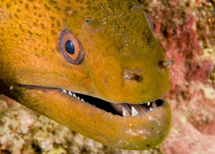 Closeups Greeting Card featuring the photograph Closeup Of A Giant Moray Eel by Tim Laman