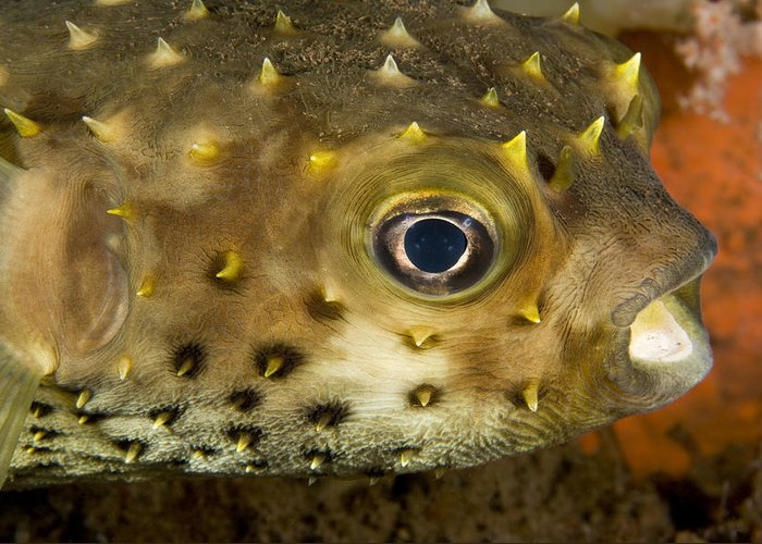 Coral Greeting Card featuring the photograph Closeup Of A Yellowspotted Burrfish by Tim Laman