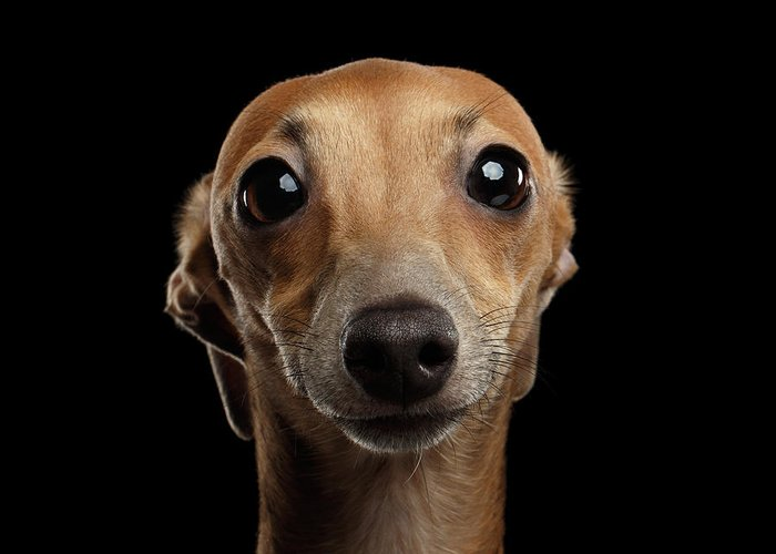 Greyhound Dog Photographs Greeting Cards
