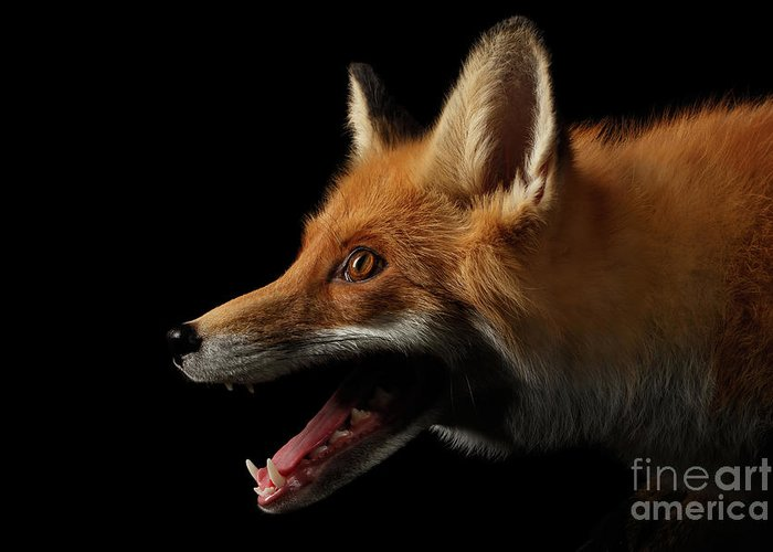 Fox Greeting Card featuring the photograph Closeup Portrait Of Red Fox In Profile Isolated On Black by Sergey Taran