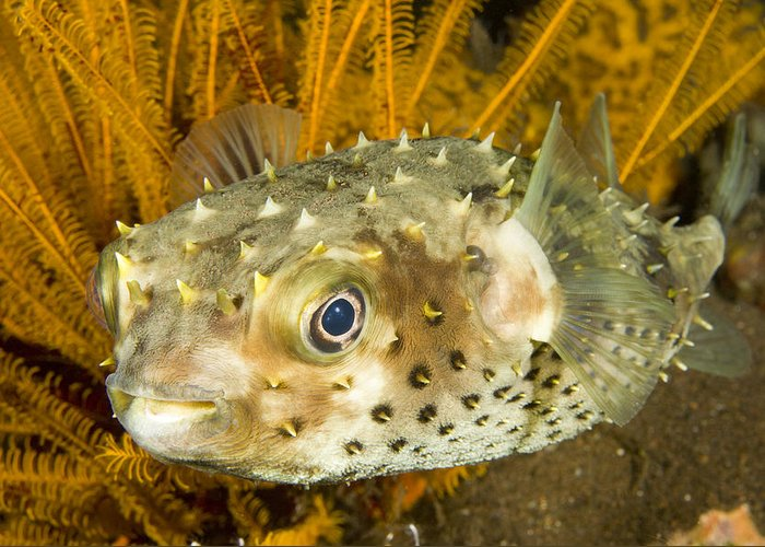 Coral Greeting Card featuring the photograph Closeupf Of A Yellowspotted Burrfish by Tim Laman