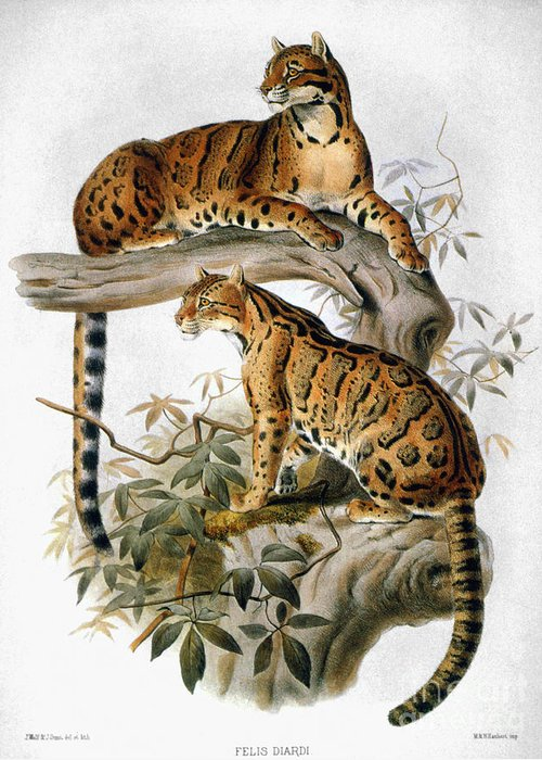 1883 Greeting Card featuring the photograph Clouded Leopard, 1883 by Granger