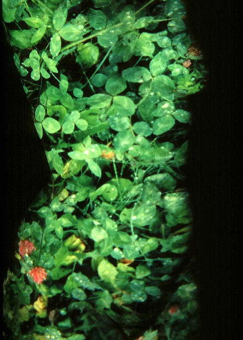 Nature Fusion Greeting Card featuring the photograph Clover by Arla Patch