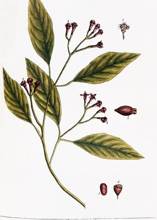 1730s Greeting Card featuring the photograph Cloves, 1735 by Granger