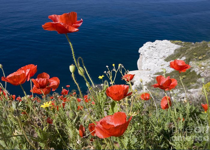 Poppies Greeting Card featuring the photograph Coastal Poppies by Richard Garvey-Williams