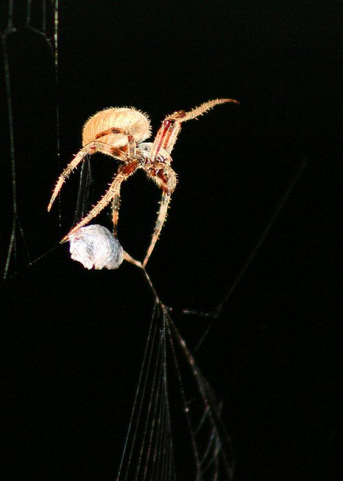 Spider Greeting Card featuring the photograph Cocooning The Victim by Kristin Elmquist