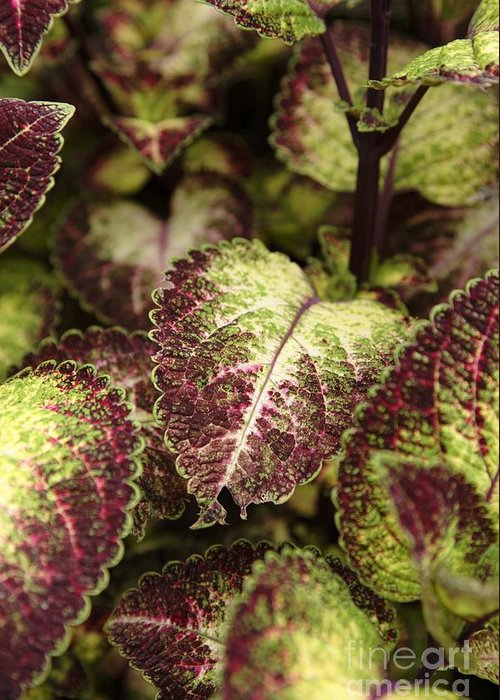 New England Greeting Card featuring the photograph Coleus Plant by Erin Paul Donovan